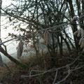 Verwilderte Obstbäume und erste Haselkätzchen