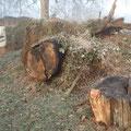 Alte Baumstämme als Moos- und Flechtenträger