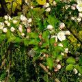 Apfelblüten - nur noch kurze Zeit. Die Natur nimmt ihren Lauf...