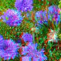 Blau büht die Kornblume