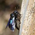 Eine Holzbiene - Foto Wolf Seidel