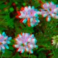 Blüten der Kronenwicke