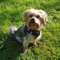 Yorkshire Terrier Benschi
