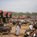 水牛が沢山集まっています