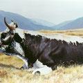 La Ligne Blanche des Vosges - Acrylique sur toile - 55 x 46 cm - 1997<br><br>Peinture vache . dessin vache . vache vosgienne . toile . peinture animalière . peintre animalier . race vosgienne