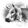 Sans titre - Crayon noir sur papier 40 x 30 cm - 2019<br><br> dessin vache . vache vosgienne . dessin animalier . peintre animalier . race vosgienne