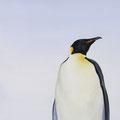 L'Empereur - Acrylique sur toile - 40 x 80 cm - 2014<br><br>Peinture . peintre animalier . artiste peintre . peinture animalière . animal . manchot empereur . pôle nord