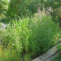 Wasserpflanzen  Lythrum salicaria - Blutweiderich