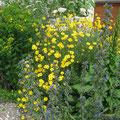 Anthemis tinctoria - Färberkamille  Echium vulgare - Naternkopf