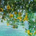 Helianthus annus - Sonnenblume
