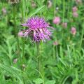 Centaurea scabiosa - Skabiosen Flockenblume