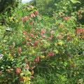 Colutea arborescens - Blasenstrauch