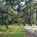 The pine path