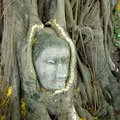 A fallen Buddha head grown into a tree at Wat Phra Mahathat