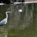 Heron swallowing a fish in the Stadtpark.