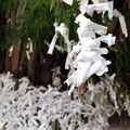 Omikuji fortunes tied to a tree on the grounds of the shrine