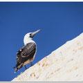 Vogel op het eiland Islas Ballestas