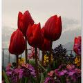 Tulpen in Zwiterland