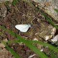 boswitje - Leptidia sinapis