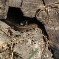 levendbarende hagedis - Zootoca vivipara