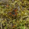 landkaartje - Araschnia levana