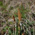 reuzenpaardenstaart - Equisetum telmateia