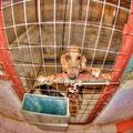 Λαγόσκυλο στο κλουβί του. (φωτογραφία: Β.Παπαγεωργίου)