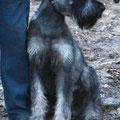 Akarel Azazello ( at photo 7 month old) (b.d. 13/04/15, kennel Akarel, breeder Ella Karpova), f. Gloris Harley Devidson x m. Risen House Akarel Alayda)