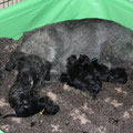 "Gaa became mother of 10 beautiful puppies (""A"" litter of kennel ""Vom Silber Batzen"") -16/06/2016"