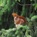 森で暮らすキタリス。