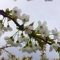 abricotiers en fleurs