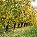 abricotiers à l'automne