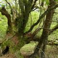 倒れた樹木の上に別種の樹木が成長している