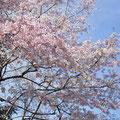桜はいま満開です♪