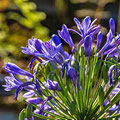Blaue Schmucklilie