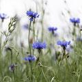 Kornblume; Centaurea cyanus