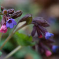 Lungenkraut; Pulmonaria officinalis