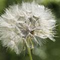 Wiesen Bocksbart; Tragopogon pratensis