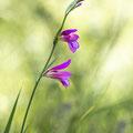 Siegwurz; Gladiolus Illyricus (Kroatien)