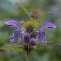 Purpurrote Taubnessel; Lamium purpureum