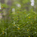 Wald-Wachtelweizen; Melampyrum sylvaticum