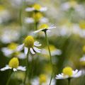 Kamille; Matricaria camomilla