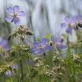 Storchschnabel; Geranium