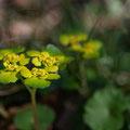 """Milzkraut, """"Krätzenblume""""; Chrysosplenium alternifolium"""