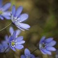 Leberblümchen; Anemone hepatica