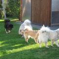 Die Hunde toben auch noch in unserem Garten