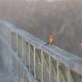 Zwei sehr Fotogene Eisvögel