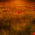 Ein Weizen-Mohnfeld