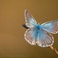 Schmetterling Bläuling