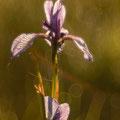 Schwertlilien Irisblüte